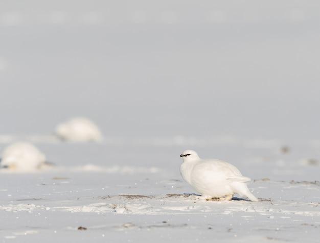 Sarmański ptak parmigan, lagopus muta hyperborea, ptak z upierzeniem zimowym, w śniegu na svalbardzie