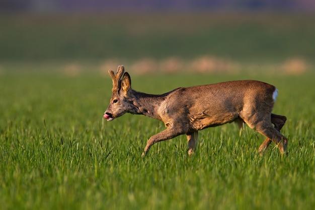 Sarna, capreolus capreolus, z nowo rosnącymi porożami owiniętymi w aksamit chodzący po trawie. lizanie sarny na zielonym polu w okresie wiosennym. dziki ssak na pastwisku.