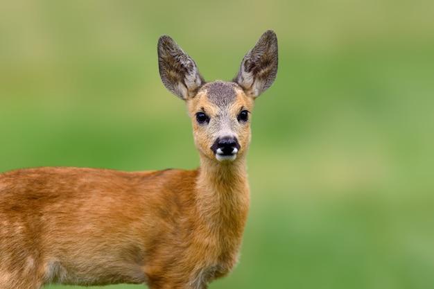 Sarna, capreolus capreolus, zwierzę w trawie. wiosna w naturze. lato jelenia na polu.