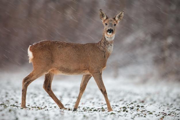 Sarna doe w zimie podczas opadów śniegu.