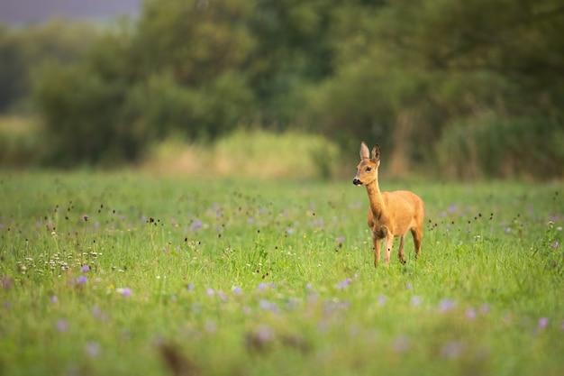 Sarna łania spacerująca wśród dzikich kwiatów w letniej przyrodzie
