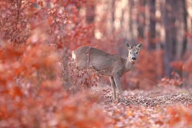 Sarna łania stojący w lesie