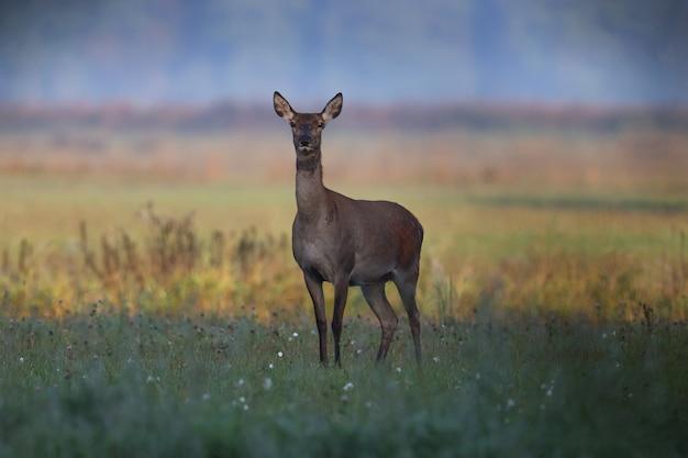 Sarna spaceruje po zielonym polu wczesnym rankiem