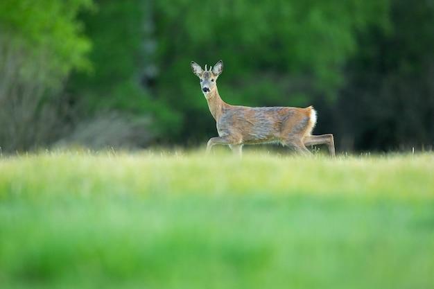 Sarna w magicznej przyrodzie piękna europejska przyroda dzikie zwierzę w naturalnym środowisku