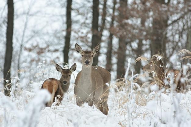 Sarna z potomstwem w zimowej scenerii
