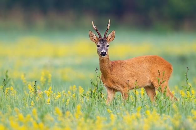 Sarny samiec stawia czoło kamerę na kwiacie zakrywającym gazon w pustkowiu