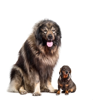 Sarplaninac dyszy i siedzi jamnikom psy