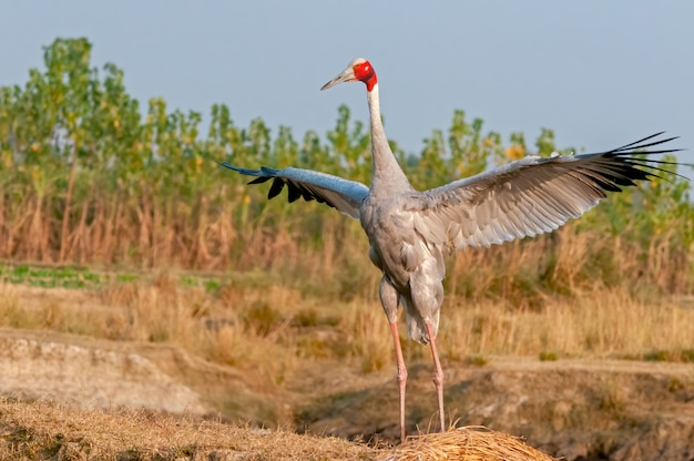 Sarus dźwig trzepocze skrzydłami w polu