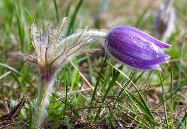 Sasanka fioletowa wiosna z kroplą rosy (zbliżenie).