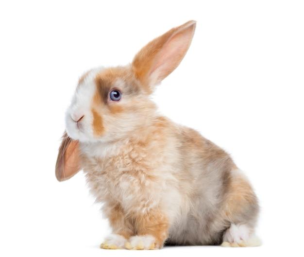 Satin mini lop ucho królika w górę, siedzący na białym tle
