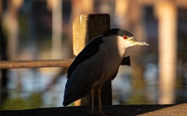 Savacu, brazylijski ptak z siedliskiem w jeziorach i rzekach, sfotografowany o świcie, naturalne światło, selektywna ostrość.