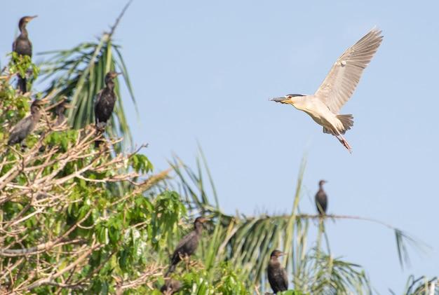 Savacu, piękny lot ptaka wodnego zwanego savacu w brazylii. selektywne skupienie.
