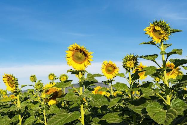 Scena natury pola słonecznika. słoneczniki. krajobraz pola słonecznika. widok pola słonecznika
