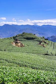 Scena pięknych rzędów ogrodu herbacianego na białym tle z koncepcją projektową błękitnego nieba i chmury dla produktu herbacianego