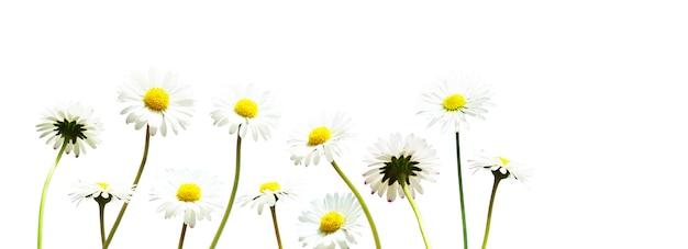 Sceneria naturalnego kwitnącego kwiatu rumianku.