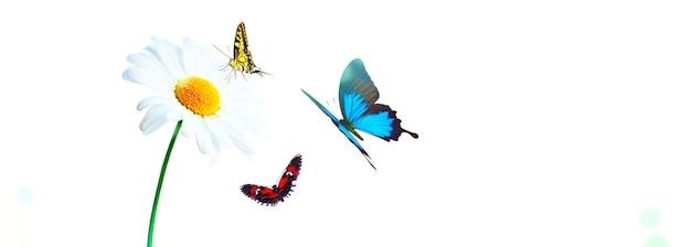 Sceneria tła naturalnego kwitnącego kwiatu rumianku i motyli.