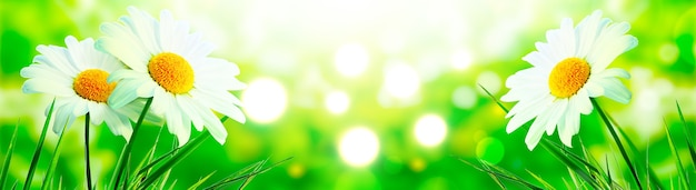 Sceneria tła naturalnego kwitnącego kwiatu rumianku.