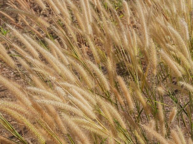 Scenic naturalnego żółtego kwiatu trawy wiejący wiatr w polu trawy w lecie.