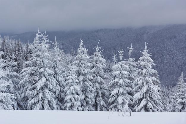 Sceniczny obraz świerka drzewa. mroźny dzień, spokojna zimowa scena.