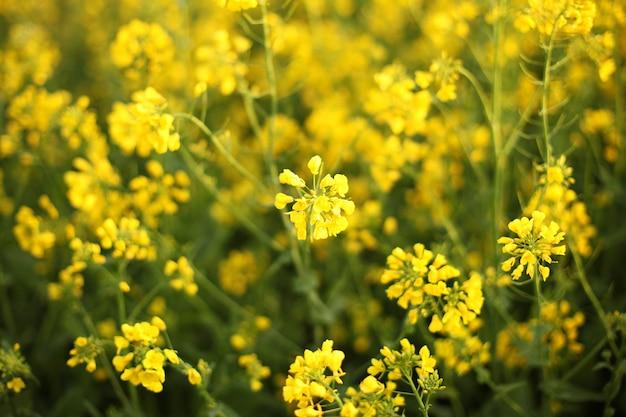 Sceniczny wiejski krajobraz z żółtym gwałta, rzepaku lub canola polem. pole rzepaku, kwitnące kwiaty rzepaku z bliska. gwałt na polu w lecie. jasnożółty olej rzepakowy. kwitnienie rzepaku