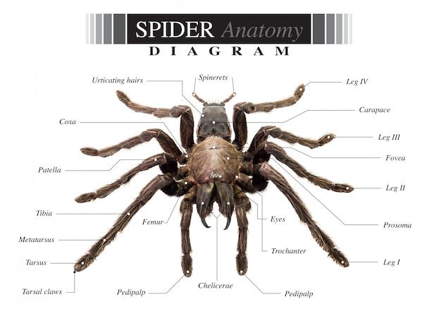 Schemat pająka