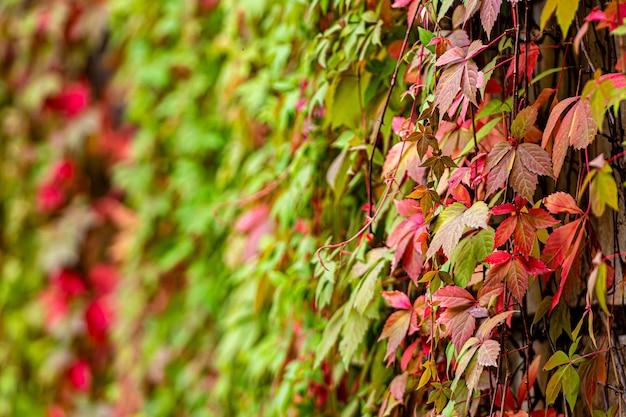 Ściana dekoracyjna z bluszczu winogronowego, kolorowe jesienne liście na materiał graficzny, tapeta, tło