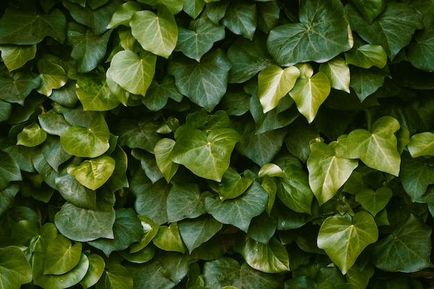 Ściana porośnięta bluszczem. soczyste liście o pięknym kształcie. zielone tło kwiatowy. miesza się z ciemnozielonymi i jasnozielonymi liśćmi. z bliska strzał