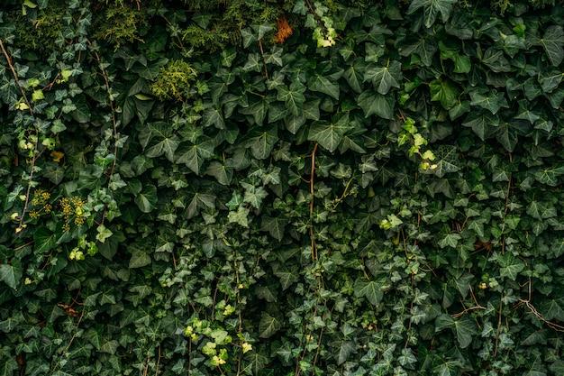 Ściana rośliny bluszczu. naturalnych zielonych liści ścienny tło, żadny wzór.