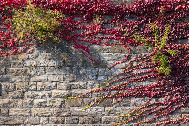 Ściana z cegieł z czerwonym winogradu tłem
