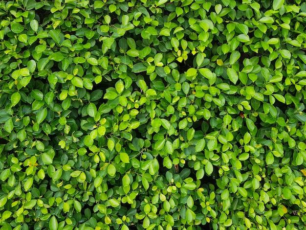 Ściana z naturalnego liścia. tło naturalnych zielonych liści.