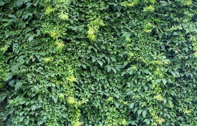 Ściana zielonych roślin. naturalne tło roślin tropikalnych, tekstura i wzór dżungli