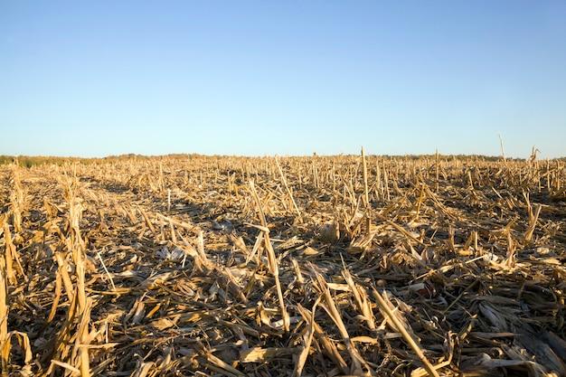 Ściernisko po zbiorze zbóż
