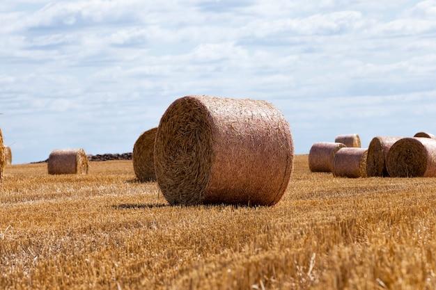 Ściernisko z pszenicy na wiejskim polu