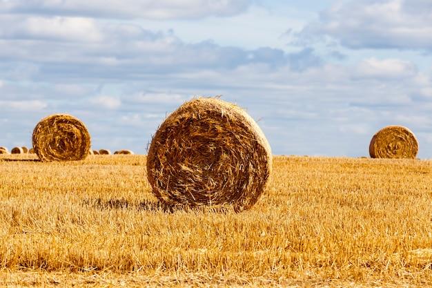 Ściernisko z żyta na wiejskim polu
