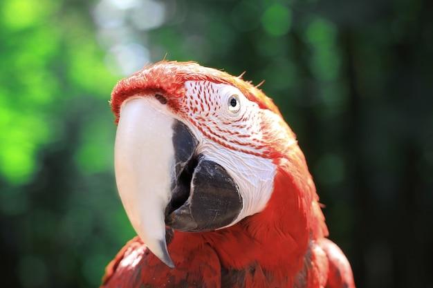 Ścieśniać. głowa, papuga ara na rozmytym tle