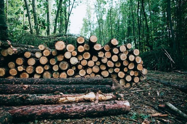 Ścięte pnie drzew leżą w lesie