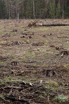 Ścięte sosny w lesie. wylesianie i nielegalne pozyskiwanie drewna