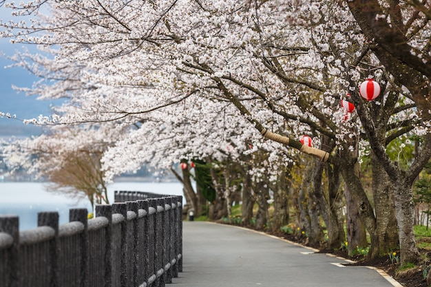 Ścieżka cherry blossom nad jeziorem kawaguchiko podczas festiwalu hanami