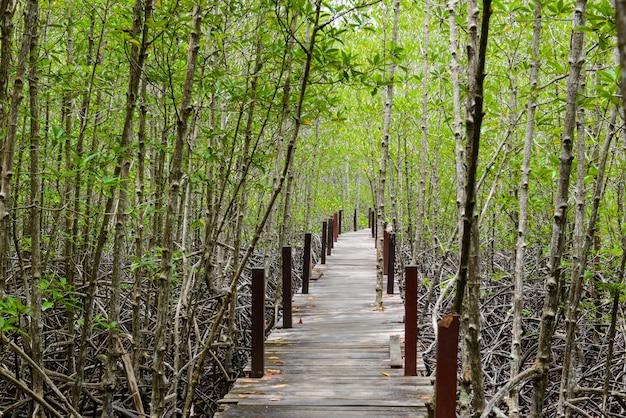 Ścieżka do nauki przyrody, wykonana z drewna, i spacer po lesie leśnym ceriops