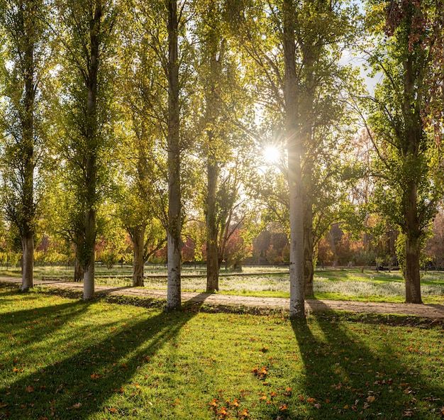 Ścieżka gaju topoli o zachodzie słońca w słoneczny jesienny dzień