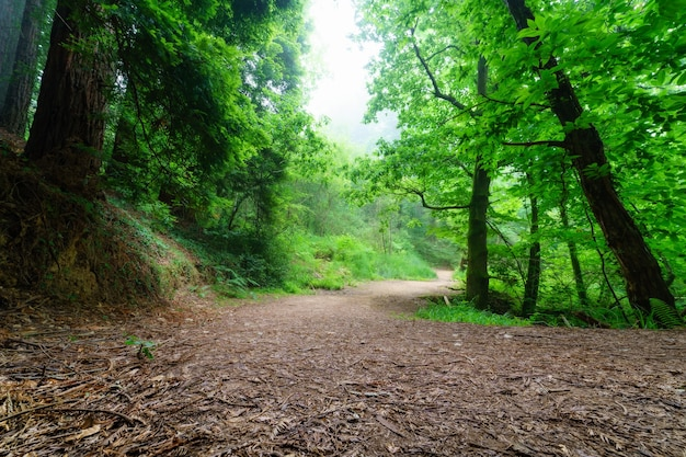 Ścieżka między wysokimi drzewami i polaną w lesie z mgłą