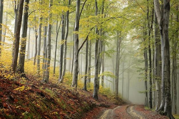 Ścieżka przez las bukowy w mglistą jesienną pogodę