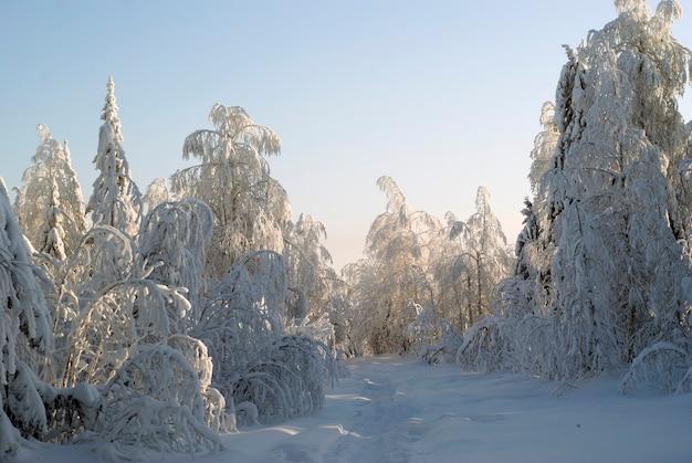 Ścieżka w głębokim śniegu przez mroźny zimowy las z zasypanymi śniegiem drzewami na tle czystego nieba