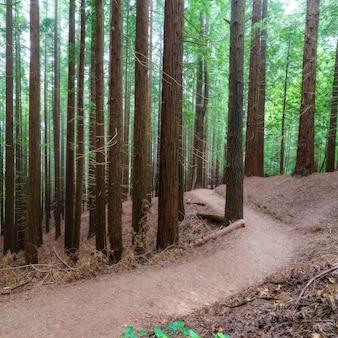 Ścieżka w lesie między sekwojami z mnóstwem pni drzew