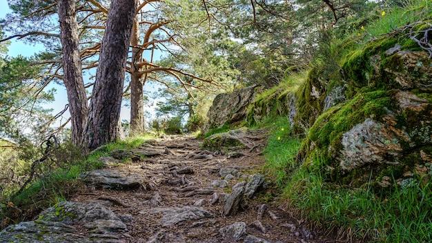 Ścieżka w lesie z korzeniami wiekowych drzew w powietrzu