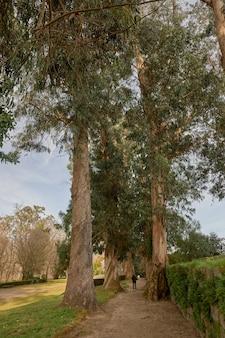 Ścieżka w parku z kilkusetletnimi drzewami niebieskiej odmiany eukaliptusa.