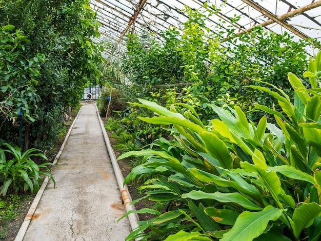 Ścieżka w szklarni z roślinami tropikalnymi. szklany dach przechodzi światło dzienne