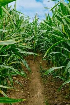 Ścieżka wewnątrz pola kukurydzy. zamknij widok łodyg kukurydzy.