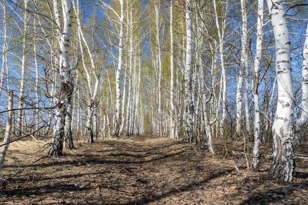 Ścieżka wśród sadzenia drzew brzozy w wiosenny słoneczny dzień piękny wiosenny krajobraz