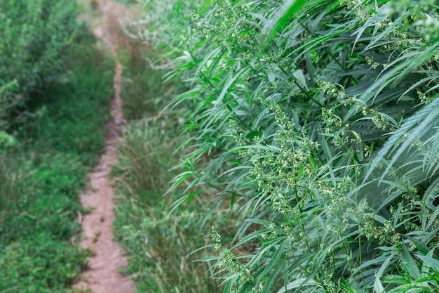 Ścieżka wśród zarośli dzikich konopi. ścieśniać